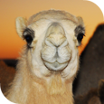 Khalifa Expeditions - Camels for treks